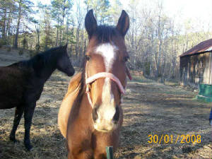 Mike's Arag/Quarter Gelding